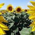Flower Sunflower,yellow Flower, by Danler Sk