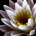 Flower Waterlily by Nancy Griswold