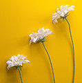 flower, white, three, online, Yellow Background, lateral, vertic by Jose Luis Agudo