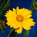 Flower Yellow by Donica Abbinett