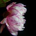 Flowering Almond 2011-11a by Robert Morin