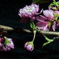 Flowering Almond 2011-16 by Robert Morin