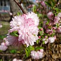 Flowering Almond by Cynthia Woods