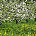 Flowering Apple Orchard by Alan L Graham