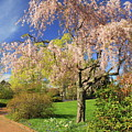 Flowering Cherry In Botanic Garden by John Burk