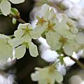 Flowering Cherry Tree 17 by Katie Wing Vigil