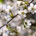 Flowering Cherry Tree Branch 4 by Valdis Veinbergs