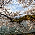 Flowering Cherry Tree by Thomas R Fletcher