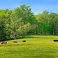 Flowering Cow Pasture by The American Shutterbug Society