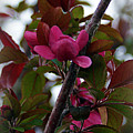 Flowering Crabapple by Cricket Hackmann