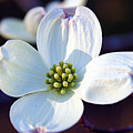 Flowering Dogwood by Cricket Hackmann