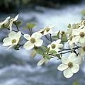 Flowering Dogwood by Kenneth Imler