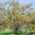 Flowering Huisache Tree  by Gary Richards