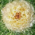 Flowering Kale by Jim DeLillo