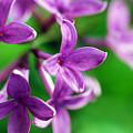 Flowering Lilac by Lori Tambakis