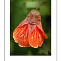 Flowering Maple Macro Poster by Mike Nellums