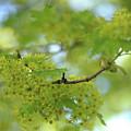 Flowering Maple Tree by Jenny Rainbow