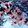 Flowering Of The Plum Tree 6 by Jean Bernard Roussilhe
