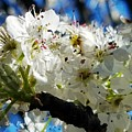 Flowering Pear by Maria Urso