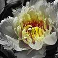 Flowering Peony In The Night Garden by Garth Glazier