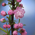 Flowering Pink On Blue by MTBobbins Photography
