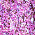 Flowering Plum Blossoms. by Greg Chapel
