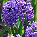 Flowering Purple Hyacinthus Flower Bulb Blooming by DejaVu Designs