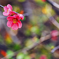 Flowering Quince In Spring by Vishwanath Bhat