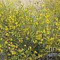 Flowering Tarweed by Inga Spence