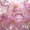 Flowering Tree Art Prints Spring Pink Blossom Flowers Baslee by Baslee Troutman
