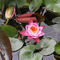 Flowering Water Lily by Rebecca Pavelka