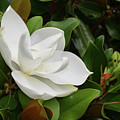 Flowering White Magnolia Blossom On A Magnolia Tree by DejaVu Designs