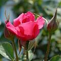 Flowers 63 by Joyce StJames