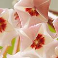 Flowers-hoya 1 by Jill Reger