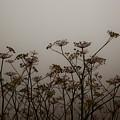 Flowers In California Fog by Patrick  Flynn