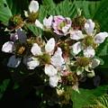 Flowers Of Berries by Gregory Farmer