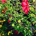 Flowers Of Bethany Beach - Hibiscus And Black-eyed Susams by Kim Bemis