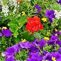 Flowers Of Bethany Beach - Petunias by Kim Bemis