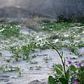 Flowers Of Ocotilla by Chris Brannen