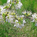 Flowers Of The Blackthorn Shrub by Kevin Richardson