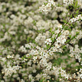 Flowers On A Plum Tree by Stefania Levi