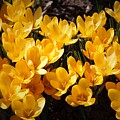 Flowery Sunshine by Colleen Snow