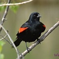 Fluffed Red-winged Blackbird by Wendy Fox