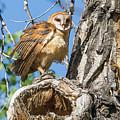 Fluffed Up Barn Owl Owlet by Tony Hake