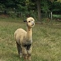Fluffy Alpaca by Megan Thompson