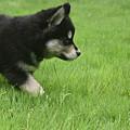 Fluffy Alusky Puppy Stalking In Green Grass by DejaVu Designs