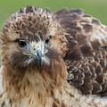 Fluffy Hawk by Chris Scroggins