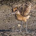 Fluffy Long-billed Curlew by Morris Finkelstein