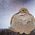 Fluffy Mourning Dove by Al  Mueller