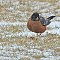 Fluffy Robin In Snow by Kathy M Krause